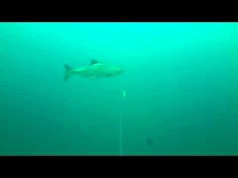 Lake Michigan Fishing Underwater Footage