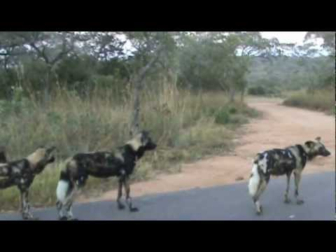 Wild Dogs On The Hunt - 28 April 2012 - Kruger Sightings