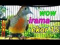 Suara Perkutut Ekor  Pandowo Mijil  Mp3 - Mp4 Download