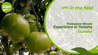 SPN in the Field, Tomate – Ecuador