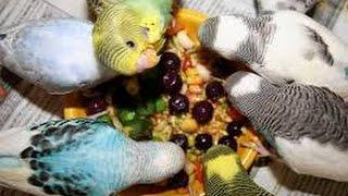 Muhabbet Kuşlarının Yem Çeşitleri Ve Nasıl Verileceği