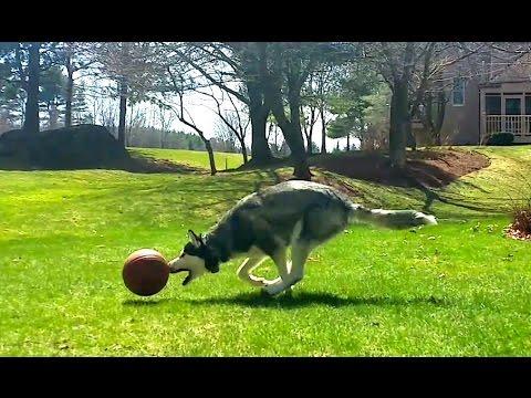 Siberian Husky Max - Unbelievable Soccer Player