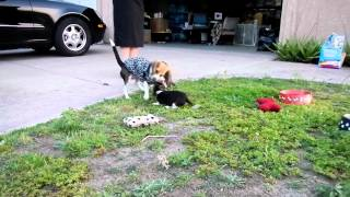 Playing Puppies For Sale Mini Beagle Puppy Toy Beagles Hound Dog 8 Weeks