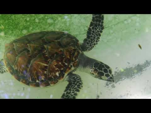 Pacific Jewel, Tranquility Island Turtle Rookery