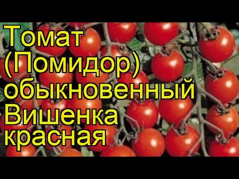 Томат обыкновенный Вишенка красная. Краткий обзор, описание характеристик Vishenka krasnaia