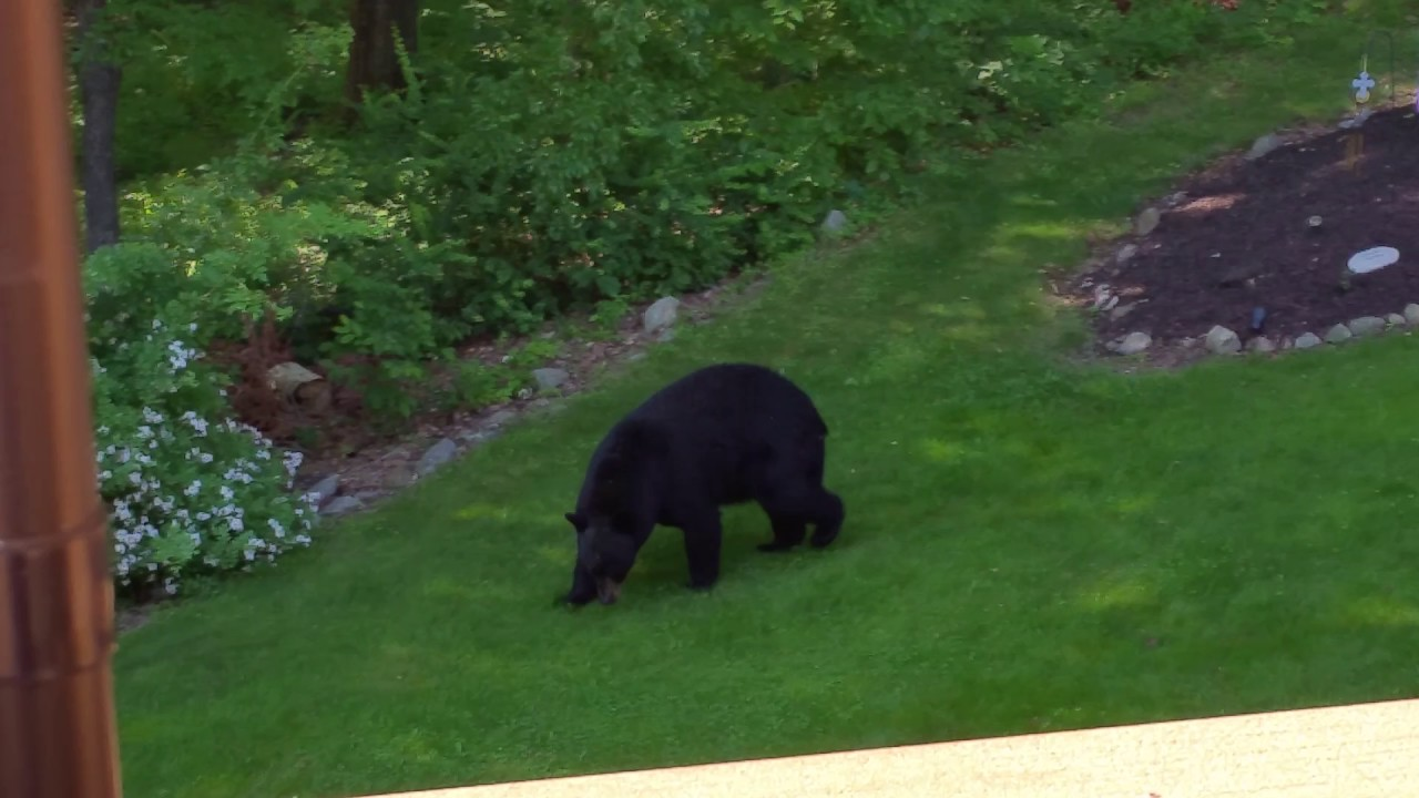 Large Black Bear in yard Sussex County NJ - YouTube