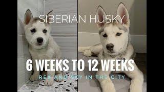 HUSKY PUPPY WEEK BY WEEK | Siberian Husky 6 weeks to 12 weeks