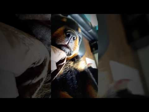 Rottweiler puppy dreaming