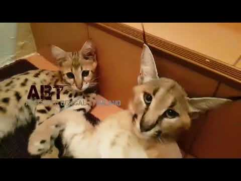 F1 Savannah Cat, Bengal, Caracal, Serval For Sale by ABTBENGALS +66615359166