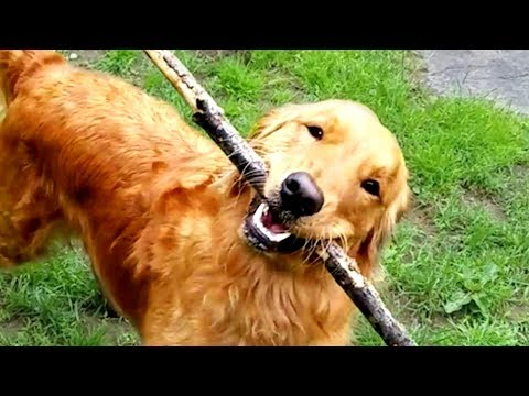 Cute and Funny Golden Retriever Videos! 🐶
