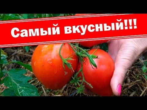 Самый мясистый и урожайный томат