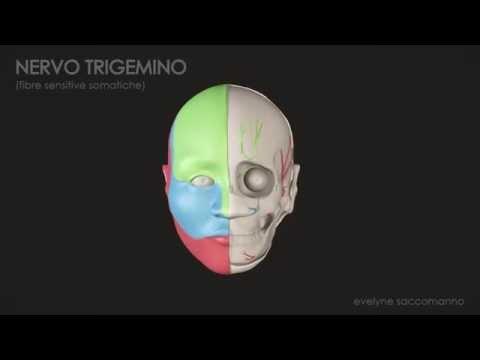 Trigeminal Nerve - Animation 3D
