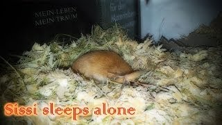 Rennmaus Sissi schläft alleine - Gerbil Sissi sleeps alone