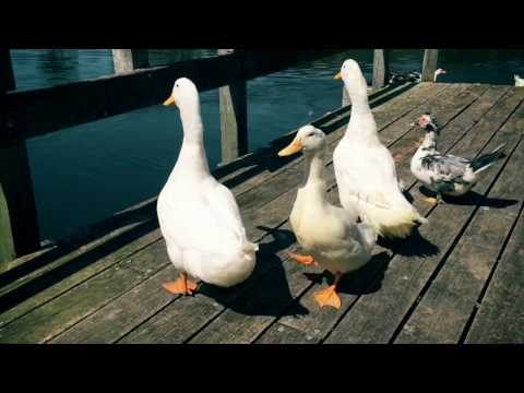 Sydney Duck Rescue