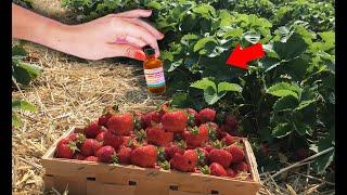 Поливаю клубнику этим, секрет завального урожая, правильная подкормка нашатырным спиртом