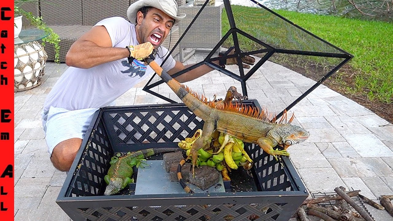 BEST IGUANA TRAP in FLORIDA! **How Cold Weather Helps** - download from YouTube for free