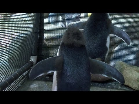 VIDEO: Inside the penguin pen at Omaha's Henry Doorly Zoo and Aquarium