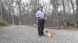 Mason   Cairn Terrier Puppy Training