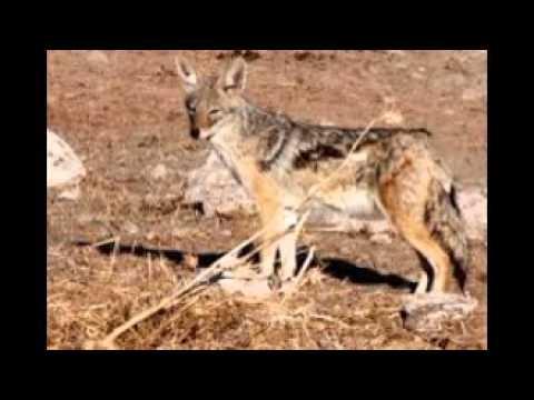 Copy of the wild animals in algeria