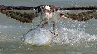 Insane Osprey Bird In Flight Photography with Nikon D850, D500 & Sony A9
