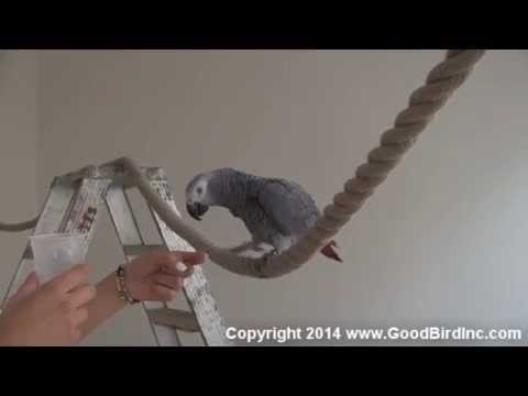 African Grey Parrot Learns to Wave in 90 Seconds