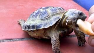 Tartaruga di terra (Horsfieldii)