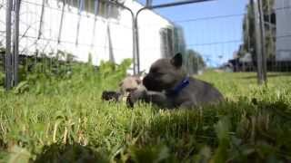 Cairn Terrier Puppies Out For The First Time - Puppies For Sale