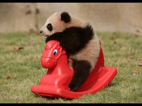 Cute! Baby Panda Does Exercise under Sunshine in Shanghai