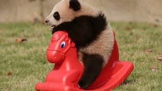 Cute! Baby Panda Does Exercise Under Sunshine In Shanghai