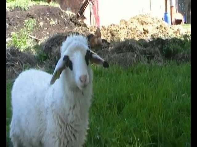 Isabell das blinde Schaf