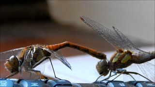 DRAGONFLY MATING (GONE SEXUAL) (GONE NICKELBACK) (GONE CLICKBAIT)