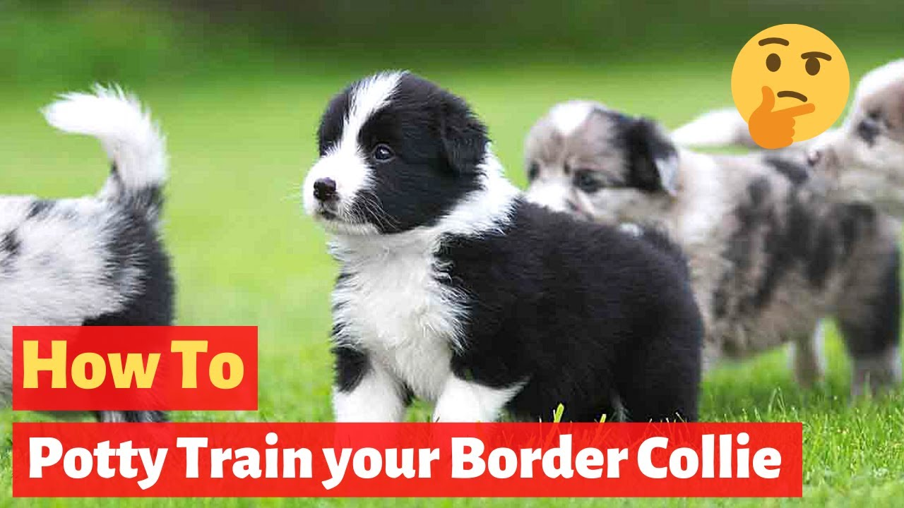 Download How to house train a Border Collie? The most easiest method possible..