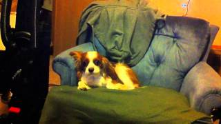 Cavalier King Charles Spaniel Crying/singing