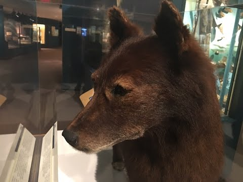 Visiting the Real Life Balto the Wonder Dog