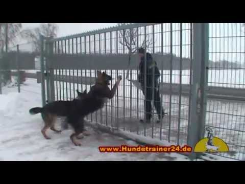 Guard dog Attack training with the German Shepherds Witch & Tiger