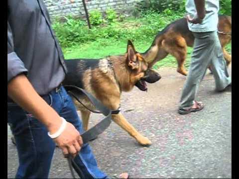 German Shepherd Dogs Youtube