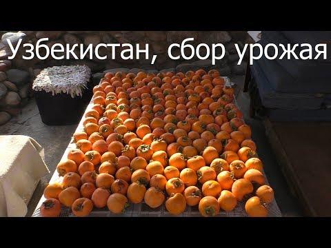 Узбекистан, сбор урожая хурмы и гранат