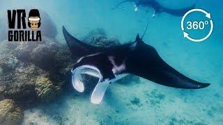 Giant Reef Manta Ray, Komodo Indonesia (360 VR Video) thumbnail