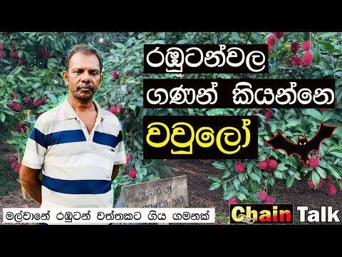 රඹුටන් වාරේ !  | Rambutan Season In Sri Lanka | Episode 1.0