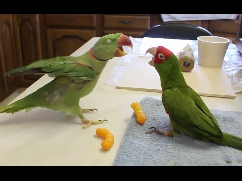 Grumpy Parrot Snack Time