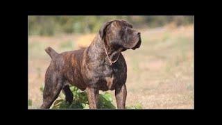 アフリカのBoerboel、狩りとライオンから守るために繁殖。 Boerboelは、...