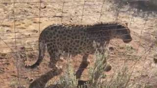 Leopard purrs like a cat