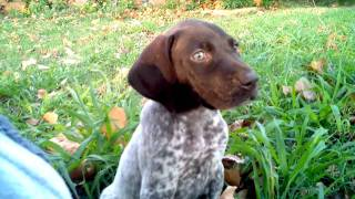 German Shorthaired Pointer Puppy Being Cute