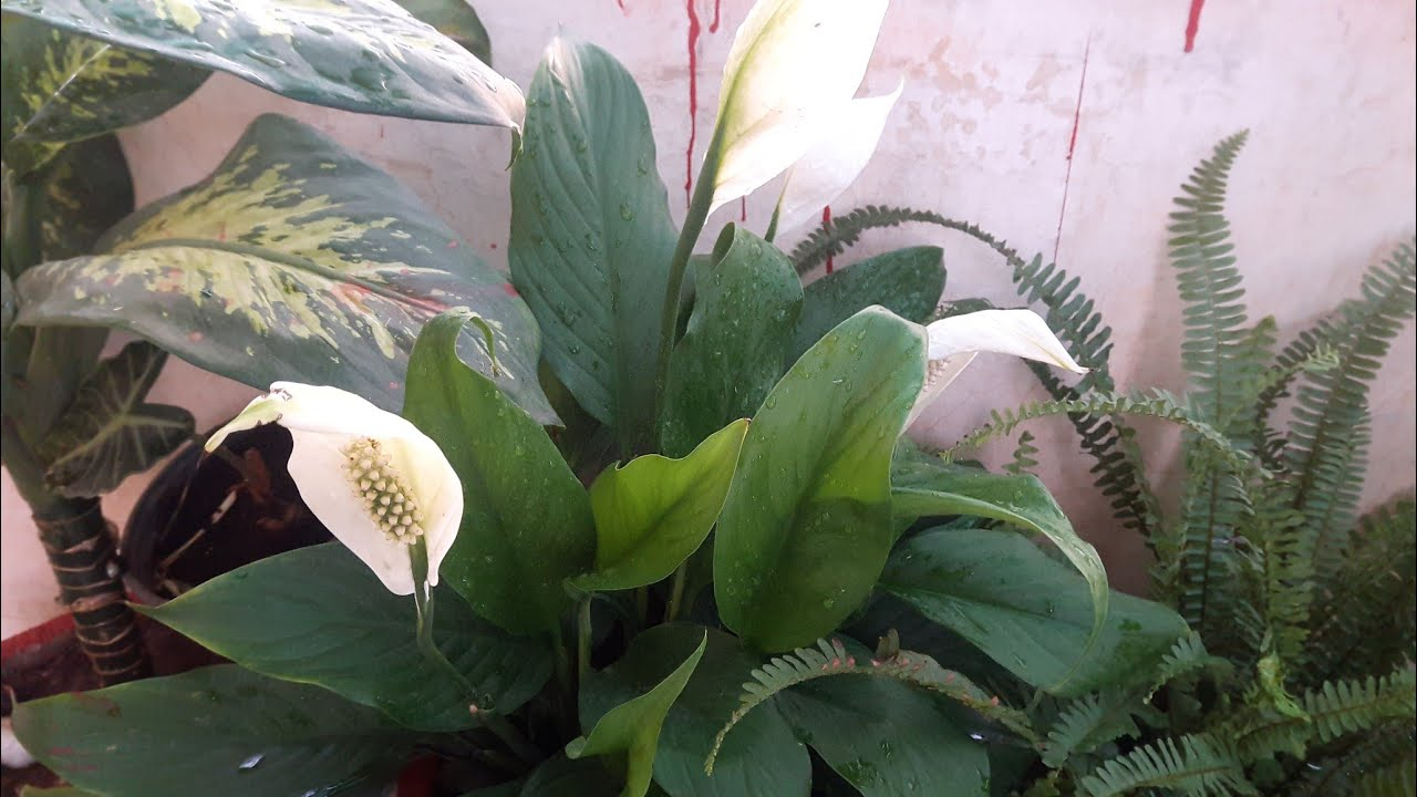 How to get peace lily bloom how to get flowers in peace lily how to get peace lily bloom how to get flowers in peace lily how to get peace lily to bloom izmirmasajfo