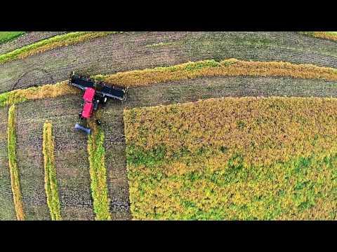 Peniuk Farms   Swathing