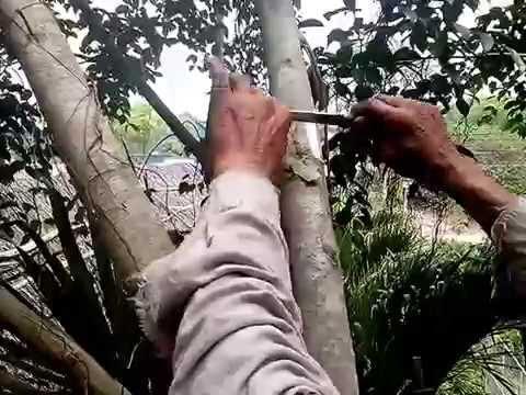 Kỹ thuật chiết cành nhân giống cây sanh
