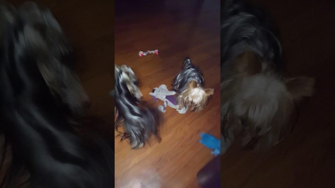 Priceless yorkie puppy youtube priceless yorkie puppy nvjuhfo Images