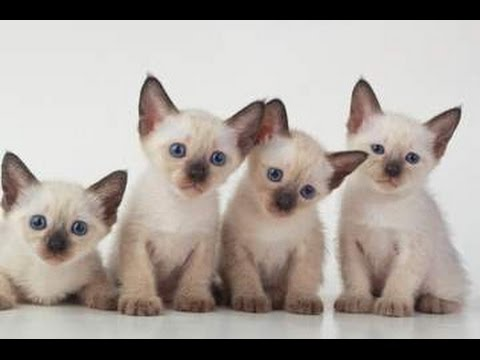 Siamese Cat | History of This Lovely Cat and Kittens