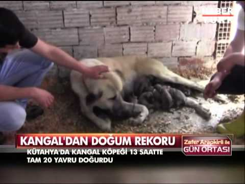 Kangal bir batında 20 yavru doğurdu