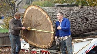 Pacific Coast LumberGiant Walnut Tree removal Pacific Coast Lumber With Bill Swanson